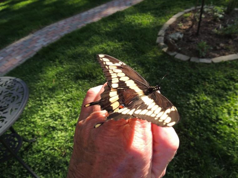 Butterflies 2013 011