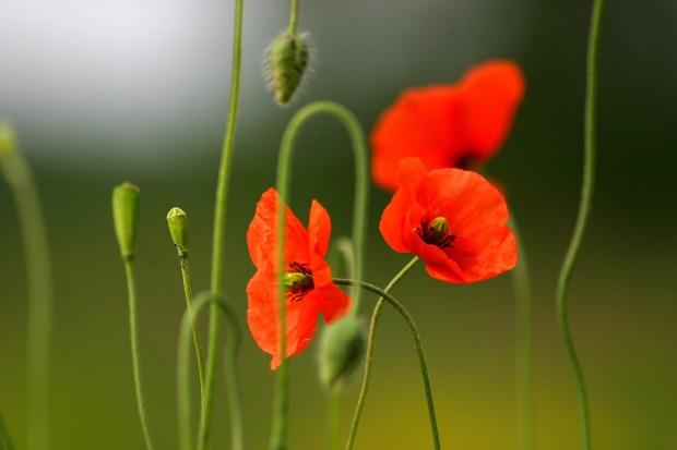 poppy-1542232-1918x1278