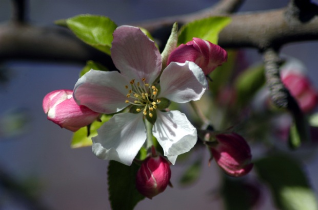 apple-blossom-1399586
